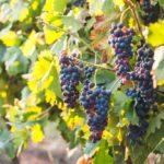 route des vins Rhodes